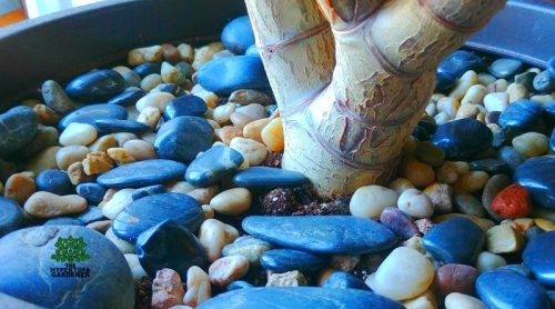 Decorative Gravel Mulch – My Jade Plant Looks Great!