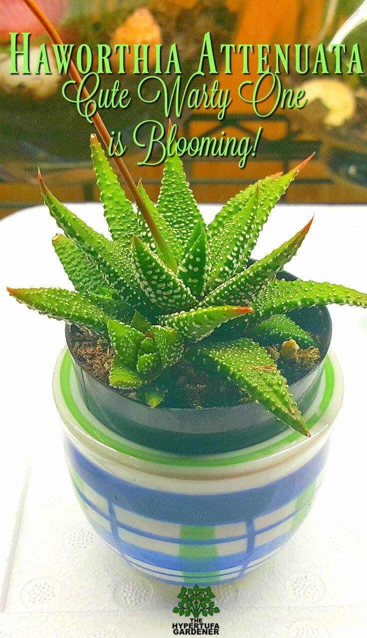 Haworthia attenuata - Cute warty one is blooming