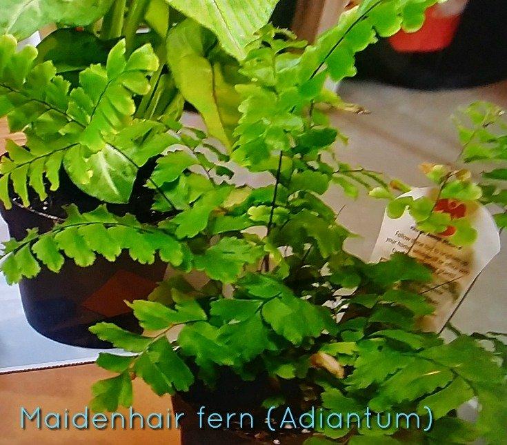 I am using a maidenhair fern for making a terrarium