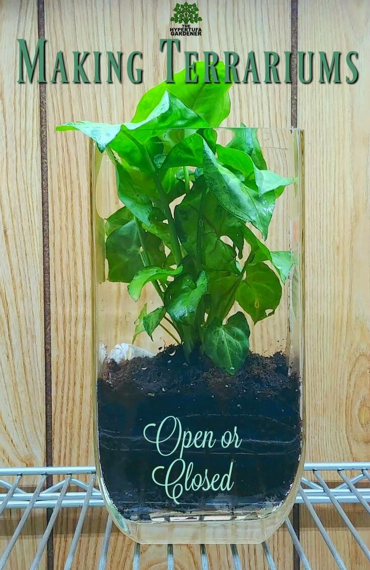 Making open terrariums - Arrowhead plant
