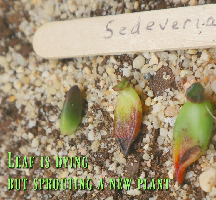 New Sprouting plants - So easy to propagate succulents