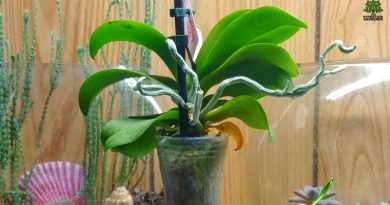 Orchid flower care