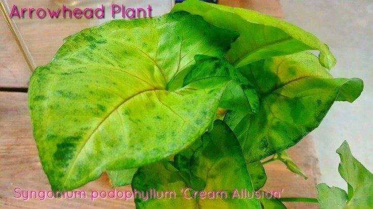 Syngonium podophyllum 'Cream Allusion'
