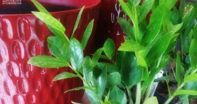 ZZ Plants repotting