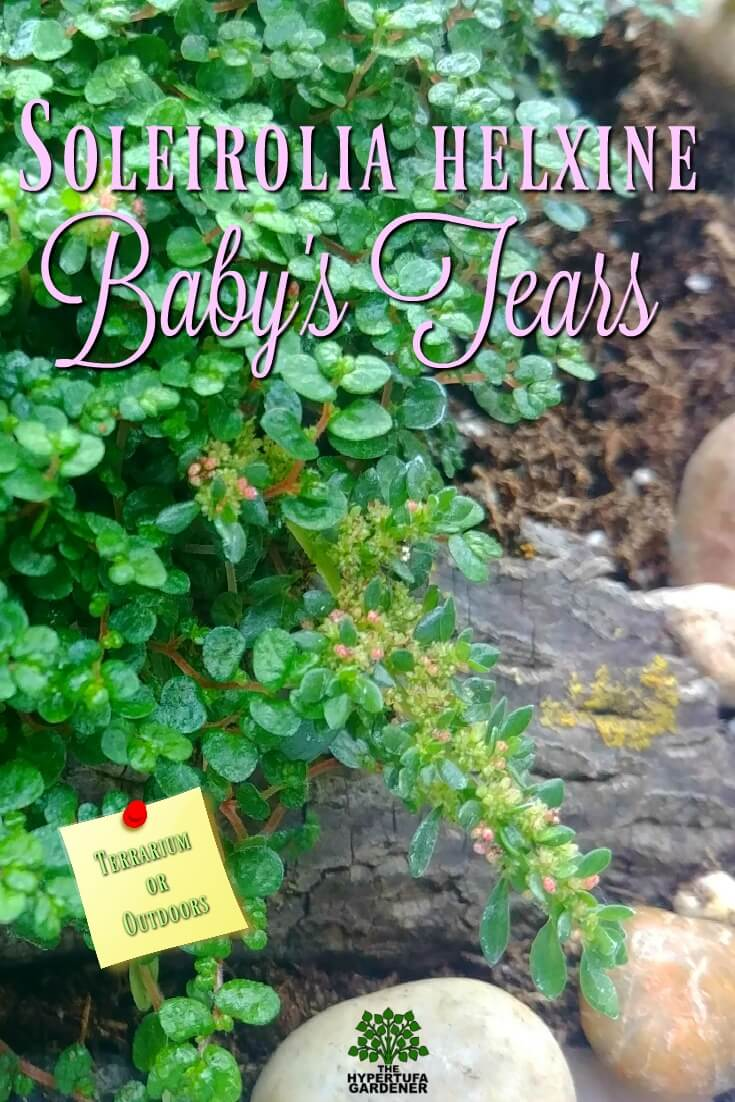 Baby's Tears - Soleiroli Helzine. This tiny mat forming plant is perfect for terrariums and also grows well outdoors in the garden pots. #baby's tears #miniatureplants #fairygarden
