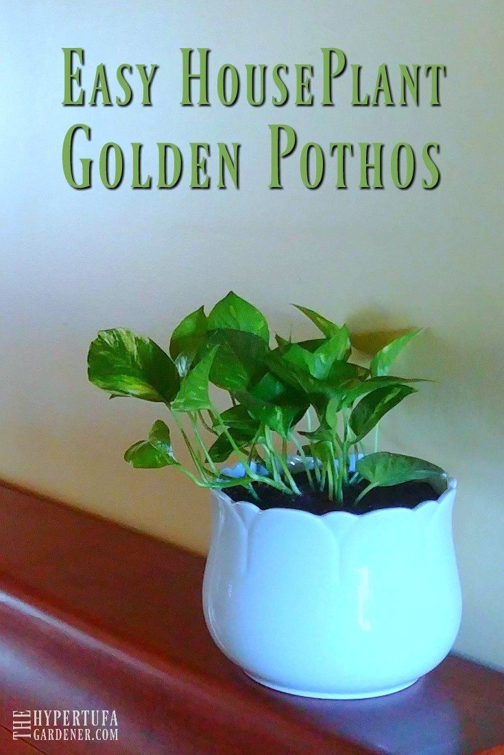 Easy Houseplant - Golden Pothos