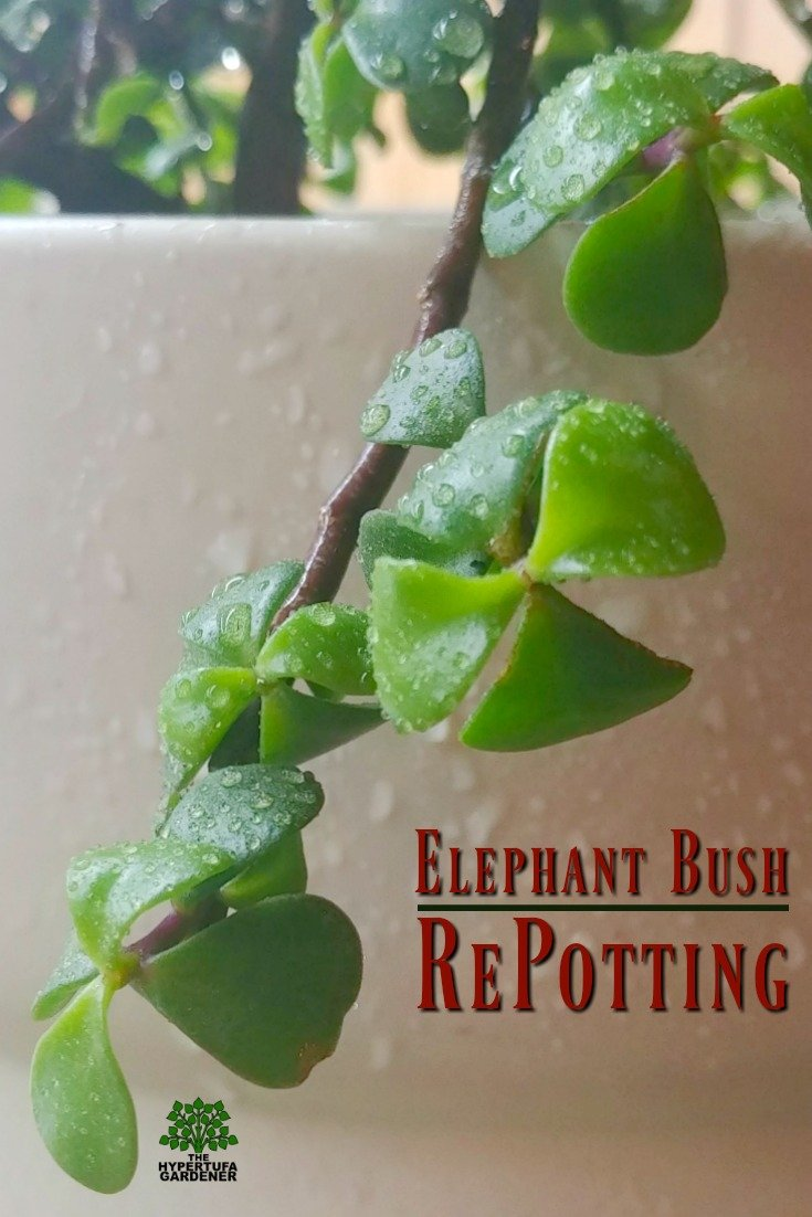 Elephant Bush repotting - Recovering from mealybugs, it is now ready to join the other house plants. #succulents #houseplants #elephantbush #portulacariaafra