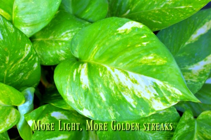 Golden Pothos - More light makes more golden streaks