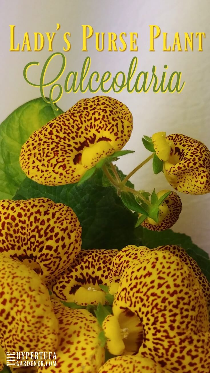 Lady's Purse Plant - Calceolaria