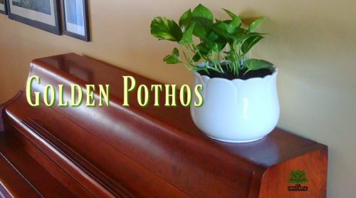 Another Plant Haul Re-potting – Golden Pothos