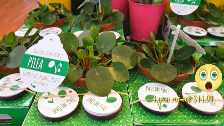 image of display of Pilea peperomioides - Cannot resist the temptation any longer, I bought one.