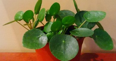 Pilea peperomioides - I finally found one!