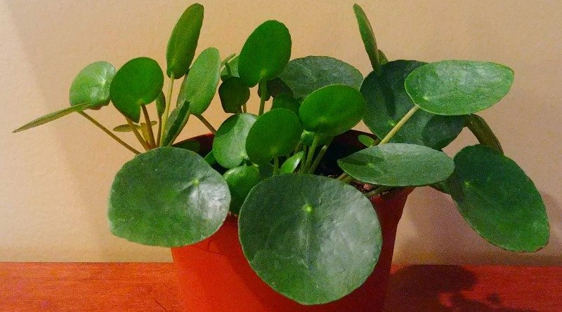 image of Pilea peperomioides - I finally found one!