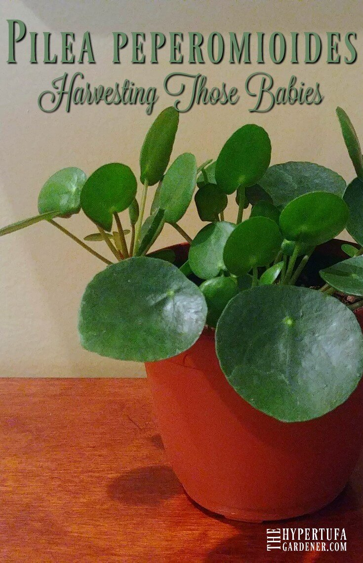 image of Pilea peperomioides - Harvesting the babies and putting them into their own pots.