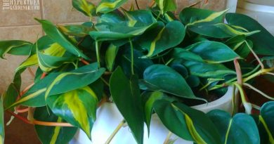Repotted Philodendron Brasil - It will be in the bathroom for extra humidity. Great low-light plant.