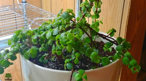 Re-potting House Plants – Elephant Bush In A New Planter