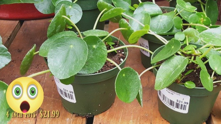 Too expensive for Pilea peperomioides