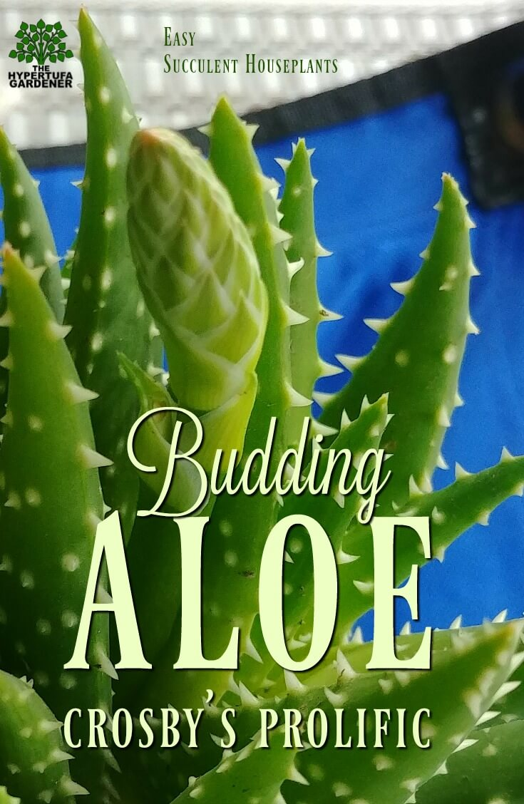 Aloe Crosby's Prolific - Budding with three stalks right now