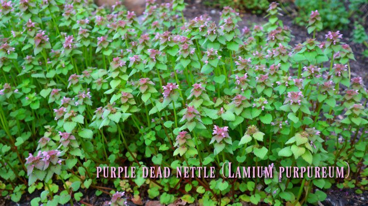 Weed! Dead nettle had no problem taking over the hillside boulder garden