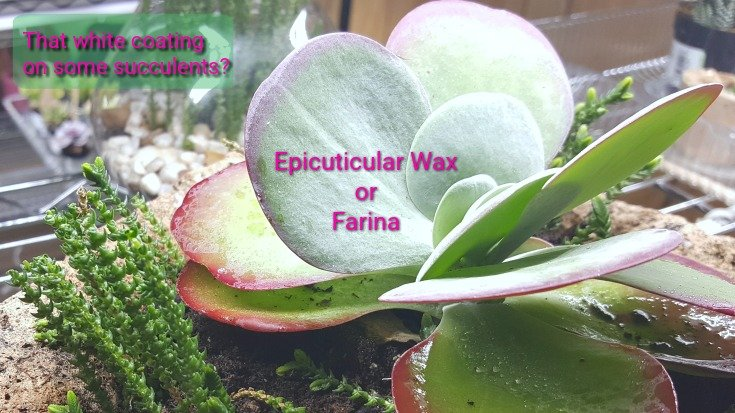 Epicuticular Wax or Farina - White coating on some succulents
