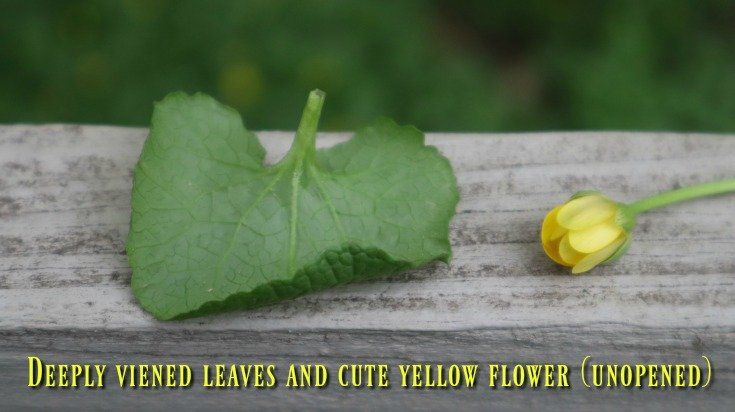 Fig buttercup in its unopened stage on cloudy days