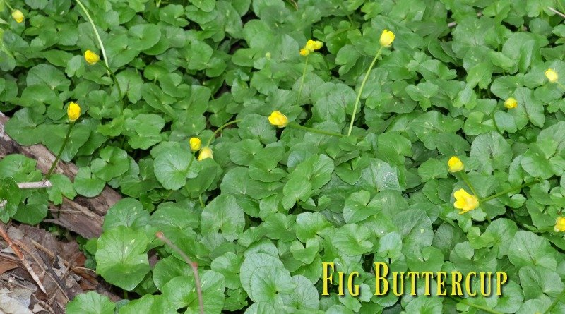 Fig buttercup or Lesser Celandine
