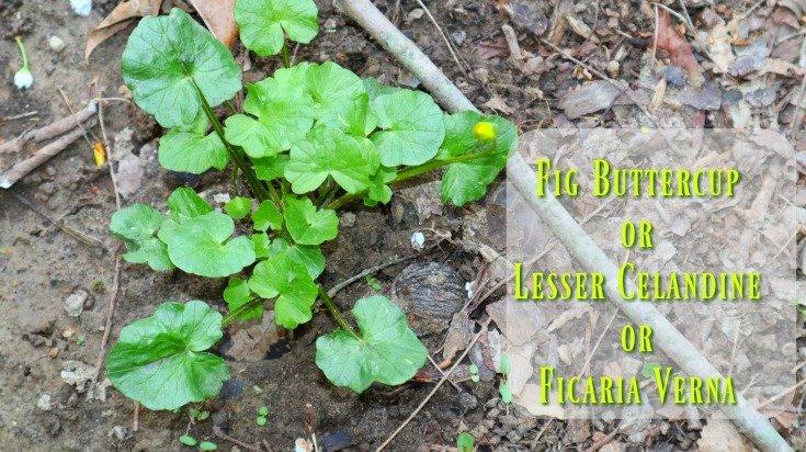 Lesser Celandine - In my garden this is a weed
