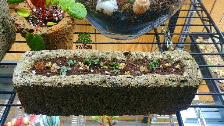 Putting houseplants in hypertufa. Pilea glauce cuttings