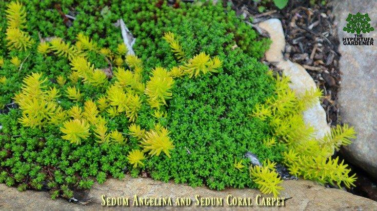 Sedum angelina and sedum coral carpet in the hillside boulder garden