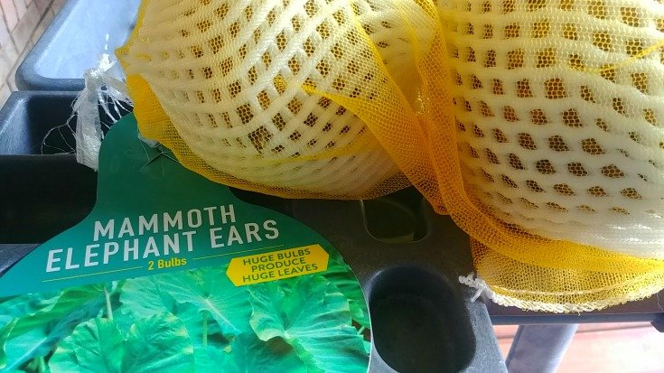 The two Elephant Ear bulbs for the small screened porch