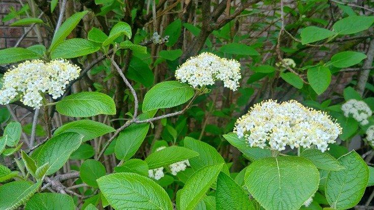 Viburnum lantana Mohican blooming April 28th