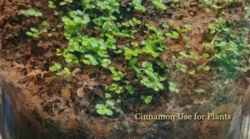 Cinnamon Use For Plants – Never Give Up – Rescued My Baby's Tears!