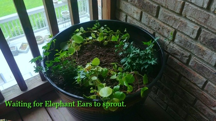 Elephant Ears in my House Plant Jungle