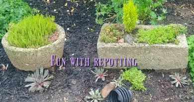 Moving hypertufa pots and repotting succulents