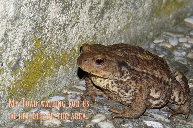 Patient toad waiting for us to get out of the garden
