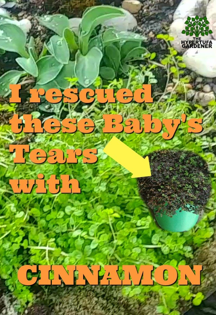 image of PIN of Rescued Baby's Tears with cinnamon - great cinnamon use for plants