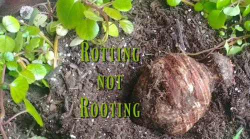Rotting Not Rooting – My Elephant Ear Bulb – Ewwww!
