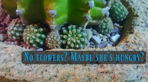 Cactus Care: Feeding A Starving Cactus – Can I Get Some Blooms Here?