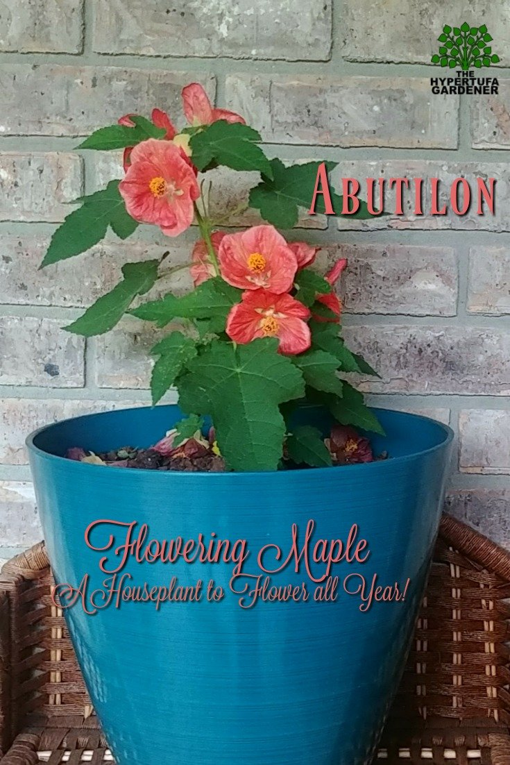 A Houseplant to Flower all year - Flowering Maple - Abutilon