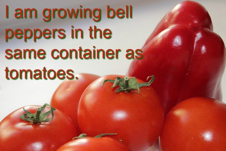 Bell peppers and tomatoes as planting companions