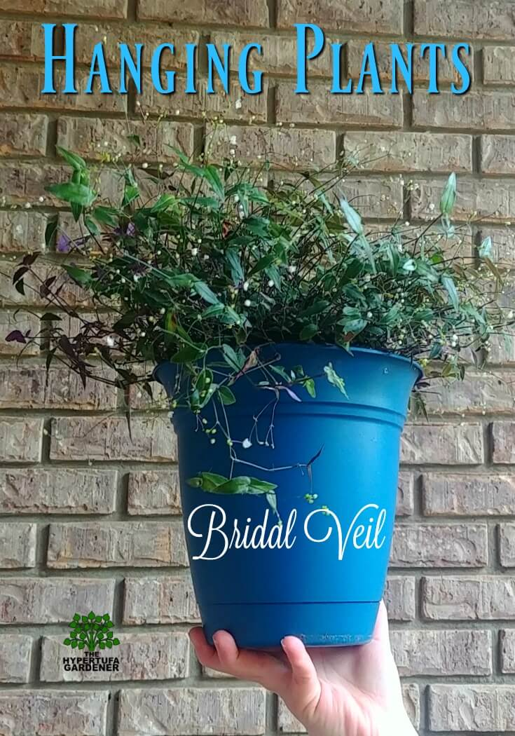 Delicate Bridal veil - One of the easy hanging plants