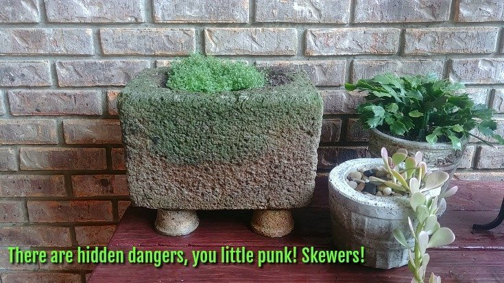 Hidden skewers to keep chipmunks out of planters
