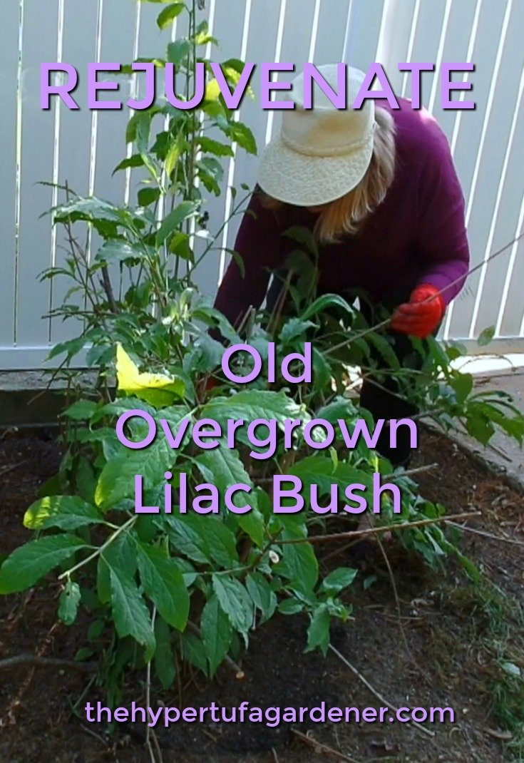 image of lady gardener pruning lilacs
