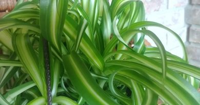 One of my hanging plants - Curly spider plant
