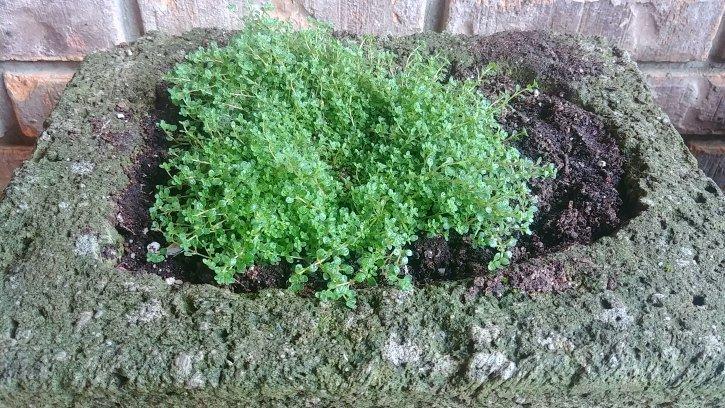 image of freshly planted thyme in hypertufa planter