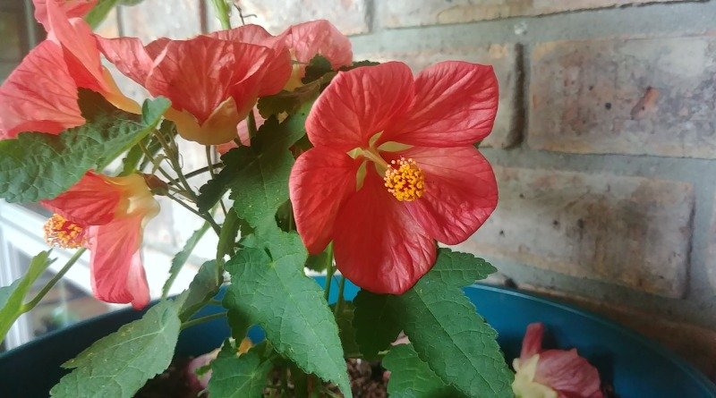 Flowering maple houseplant- Easy to grow and flowers all year even in a container.