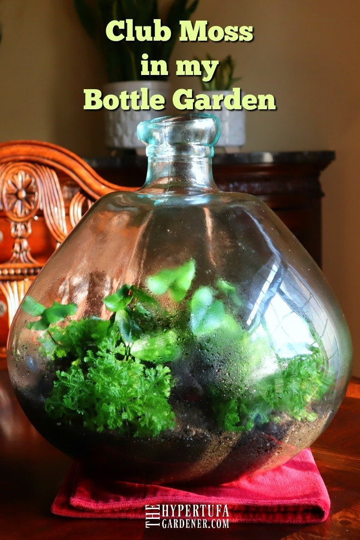Club Moss in my Bottle Garden - Selaginella kraussiana