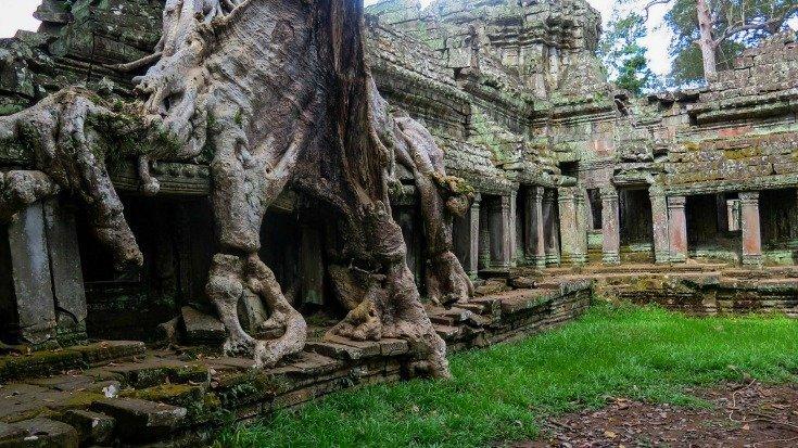 Ficus in Cambodia