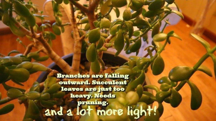 Jade Plant Care - Give it enough light for leaves to stay close together