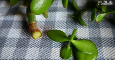 Jade Plant Care and Pruning